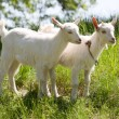 She-goats on pasture — 图库照片