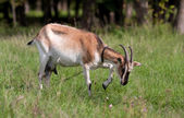 She-goats on pasture — Stock Photo