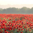 Red poppy on field - Stock Photo