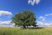 Alleen boom op weide — Stockfoto