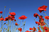 Red poppy on blue sky background — Stock Photo