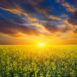 Sunset over rape field — Stock Photo