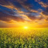 Sunset over rape field — Stock Photo