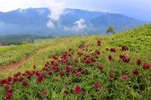 Wild flowers in mountains — Foto Stock