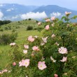 Dog rose bush in mountains — Stock Photo #28896881