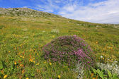 Wild flowers in mountains — Stock Photo