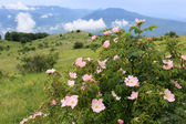 Dog rose bush in mountains — Stock Photo