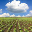 Field with sunflower sprouts — Stock Photo