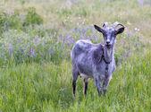 山羊草地上 — 图库照片