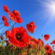 Nice poppy — Stock Photo