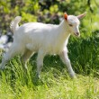 Goatling on meadow — Stock Photo