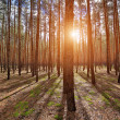 Shadows in pine forest — Stock Photo