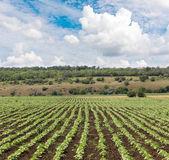 Campo con brotes de girasol — Foto de Stock