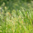 Heads of grass — Stock Photo