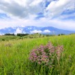 Mountain meadow with wild flowers — Stock Photo