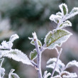 Green brunch under frost — Stock Photo #37540813