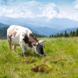 Cow on pasture — Stock Photo