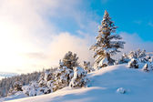 Nice pine in winter forest — Foto Stock