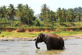 Elephant in river — Stockfoto