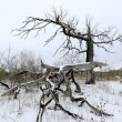 Dead tree in winter forest — Stock Photo