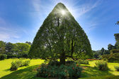 Triangular tree — Stock Photo