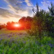 Stock Photo: Sunset over meadow in forest