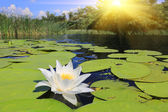 Nice lily on water — Stock Photo