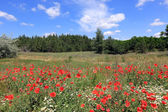 Red poppies on meadow — Stock Photo