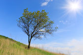 Alone tree on hill's slope — Stock fotografie