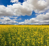 Rape field — Photo