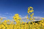 Verkrachting veld onder de blauwe hemel — Stockfoto