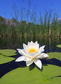 Water lily on lake — Stok fotoğraf
