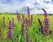 Wild flowers in steppe — Stock Photo