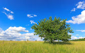 Green tree on meadow — Stok fotoğraf