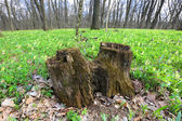 Stump tree in spring forest — Stock Photo