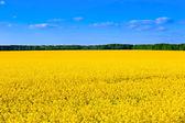Yellow and blue - rape field — Stock Photo