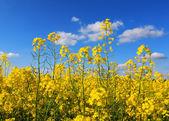 Rape field under blue sky — Stock Photo