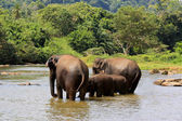 éléphants dans la rivière — Photo