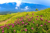 Wild flowers on mountains meaow — Stok fotoğraf