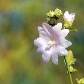 Mallow flower — Stock Photo
