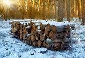 Wooden logs under snow in forest — Stock Photo