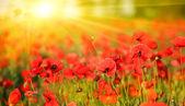 Poppy field in summer day — Stock Photo