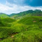 Tea plantation landscape — Stock Photo #12376368