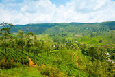 Tea plantation landscape — Stock Photo