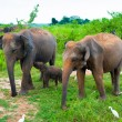 Family of elephants with young one - Stock Photo