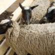 Sheeps — Stock Photo #13344838