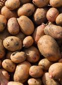 Potato crop — Stock Photo