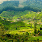 Tea plantation landscape — Stock Photo #13481338