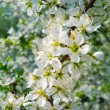 Tree brunches with white flowers - Stock Photo