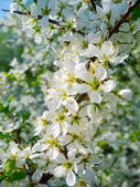 Tree brunches with white flowers — Stock Photo